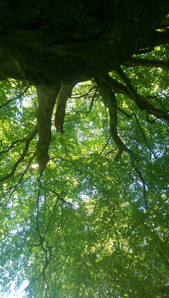 Looking up from the sacred tree