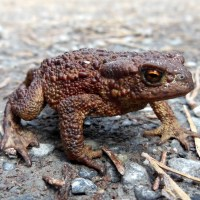 Vanlig Padda ... Common Toad ...