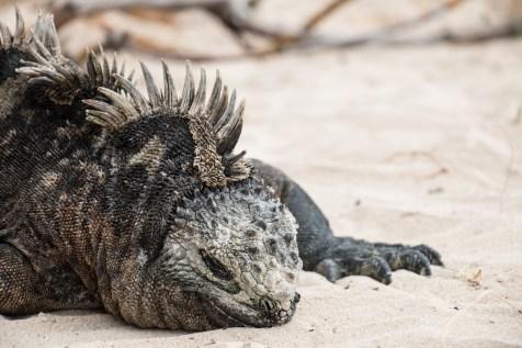 galapagos_isabela_marine_iguana-7