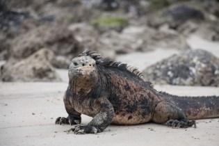 galapagos_isabela_marine_iguana-8