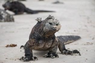 galapagos_isabela_marine_iguana-9