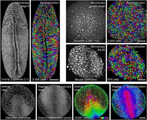 Reconstrucciones de diferentes embriones