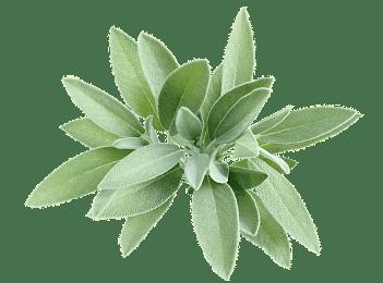 Phytotherapie-Herboristerie-Sante-Naturelle-Sauge