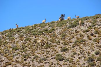 Vicunas up on a hill