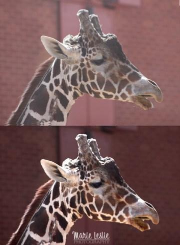 giraffe, photoshop levels