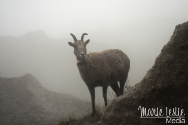 badlands mountain goat