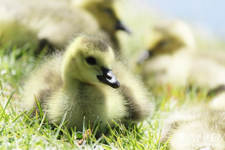 baby goose photography