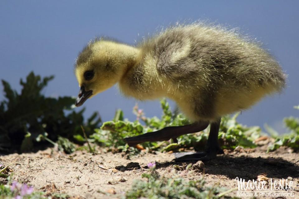 cute baby bird, gosling