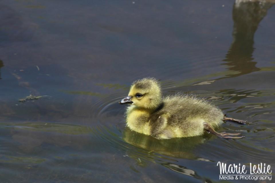 swimming baby goose, gosling