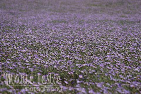 purple daisy field