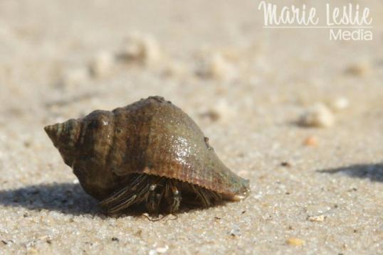 Hermit Crab, Galveston, Texas