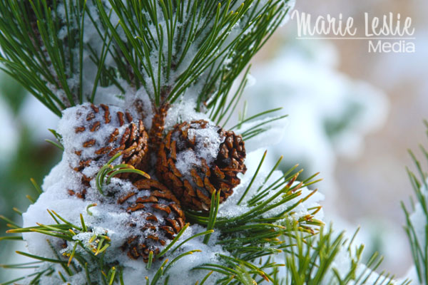 ©Marie Leslie, pine cones on the tree in snow