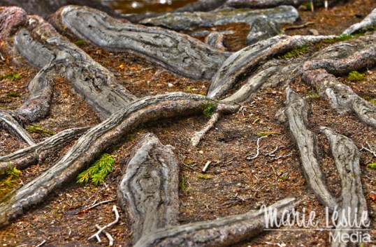 exposed tree roots, rocky mountain national park