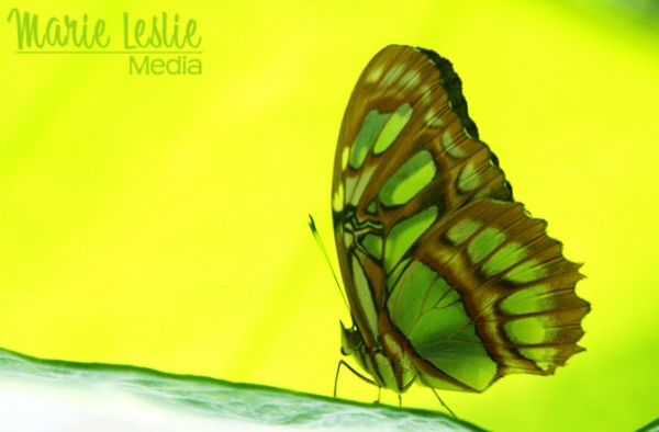 green butterfly colorado photographer