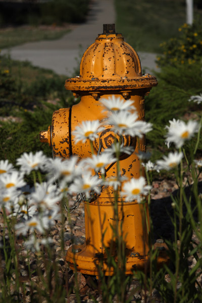 hydrant and daisies