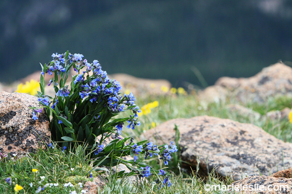 rocky mountain wildflowers