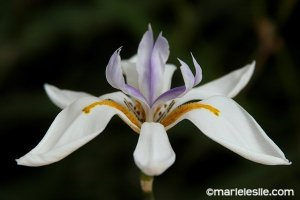 nile lily