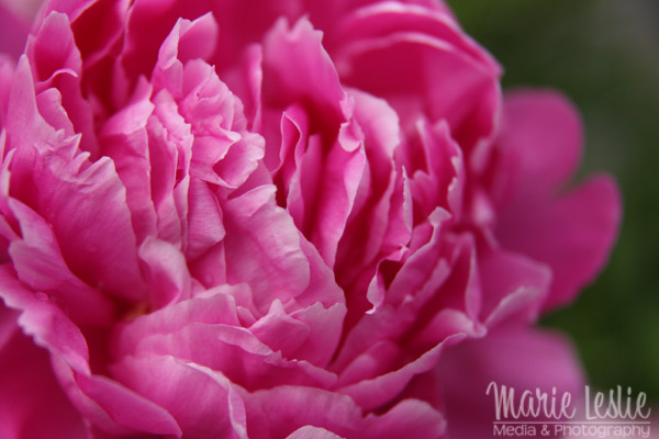 flower photography pink peony