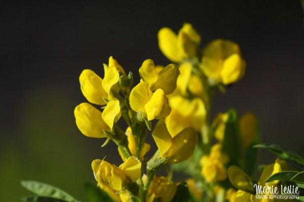 Photographing Colorado Wildflowers Yellow Pea