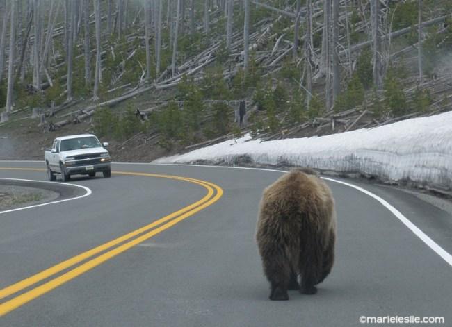 bear butt yellowstone