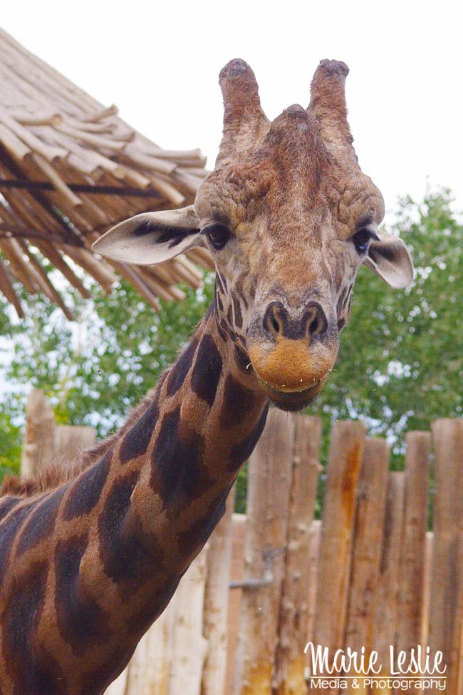 make better giraffe photos at the zoo