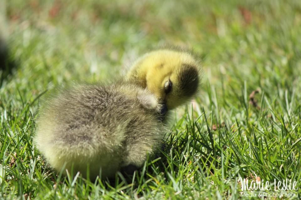 yellow gosling--baby Canada Goose