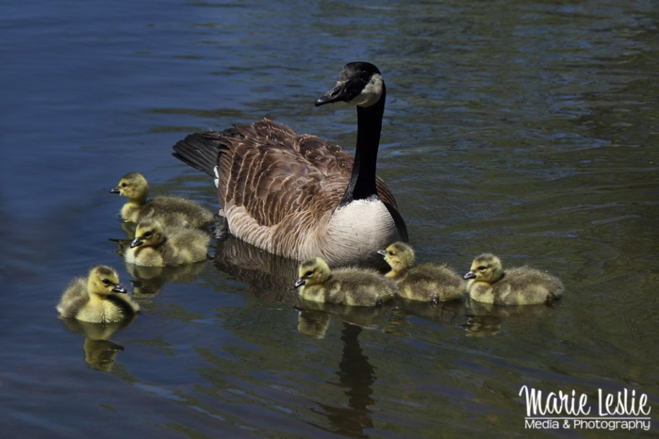 Canada Goose family, goslings, baby geese, baby birds