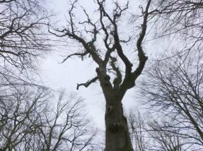"""Le """"Gros chêne franco-belge"""", arbre de mon enfance ardennaise"""