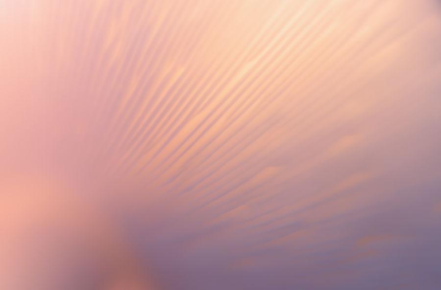 paddestoel-roze-lamellen