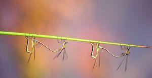 juffertjes-vier-hangen