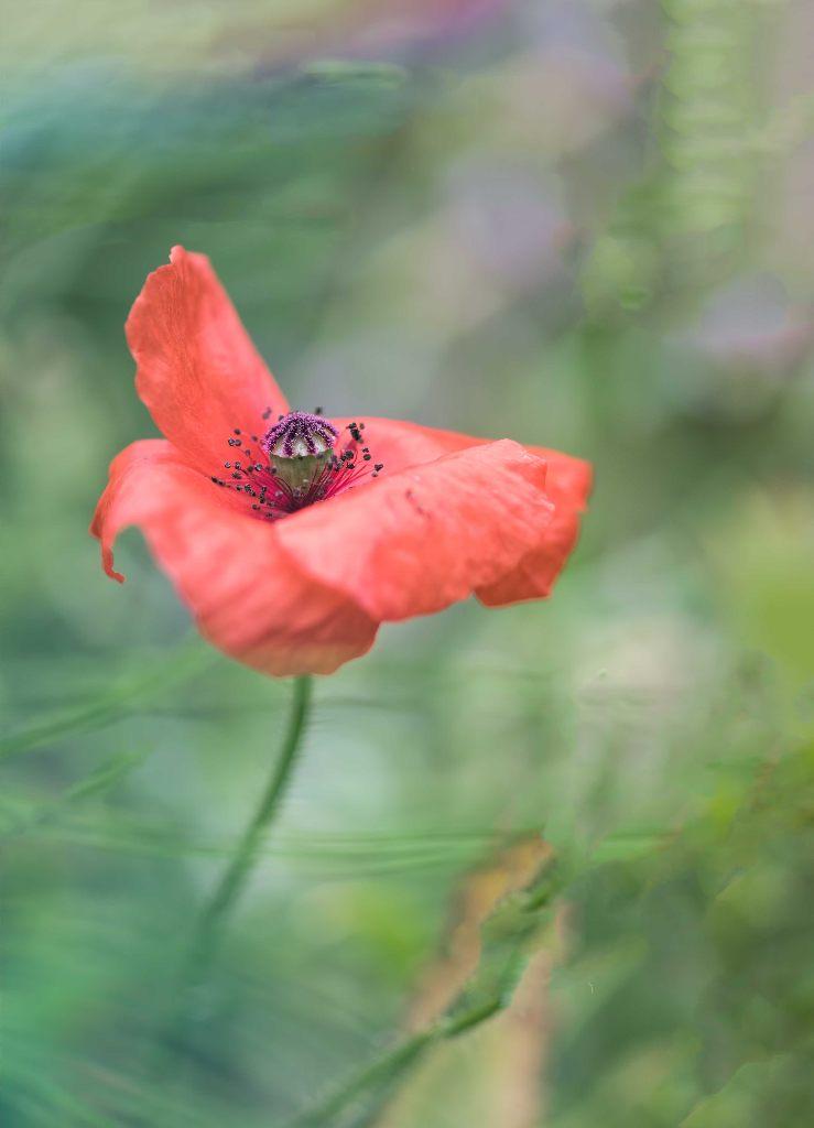 klaproos-poppy-bloem-rood