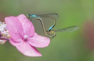 paringswiel-juffers-libellen-voortplanting