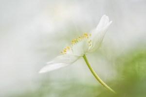 anemoon-licht-teer-wit-bloem-lente