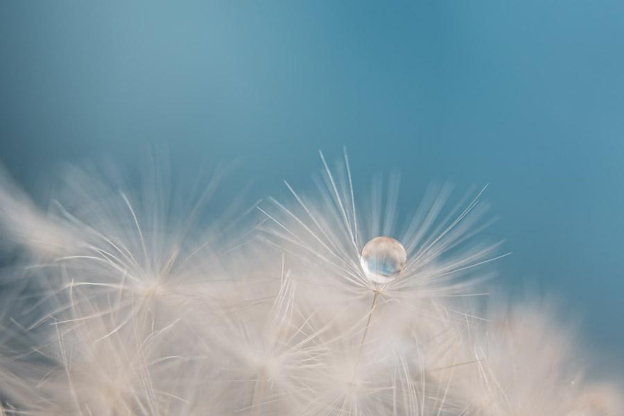 drop of dandelion