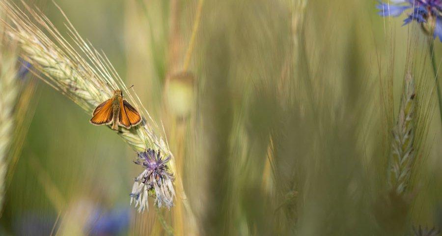 groot-dikkopje-vlinder-korenbloem-koren