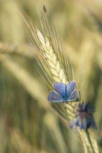blauwtje-vlinder-korenveld-insect