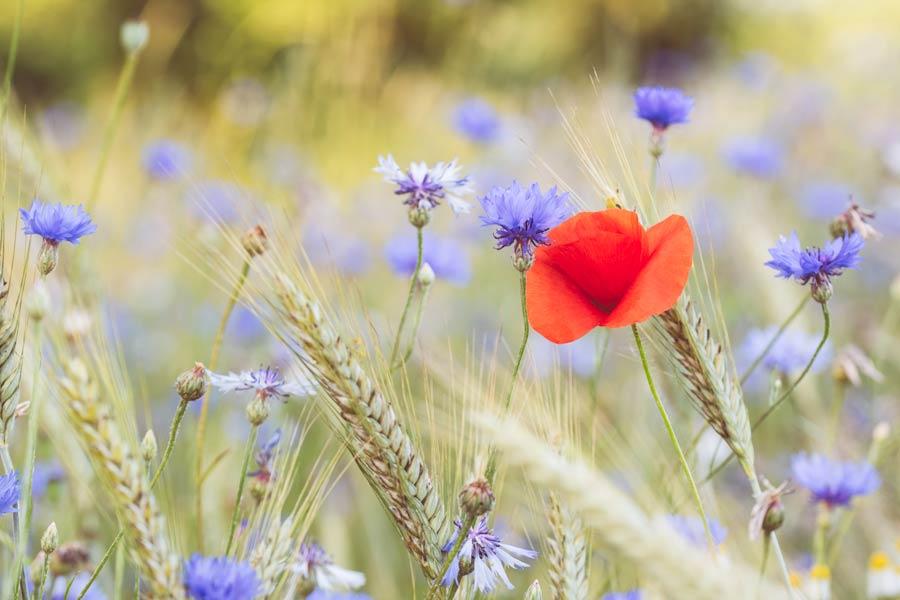 veldbloemen-korenveld-klaproos-korenbloem