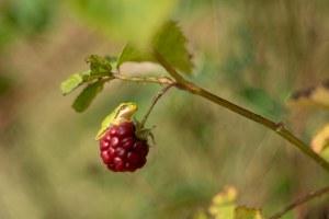 boomkikker-bramenstruweel-domiplan-macro