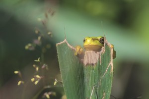 boomkikkertje-kikker-macro-natuur
