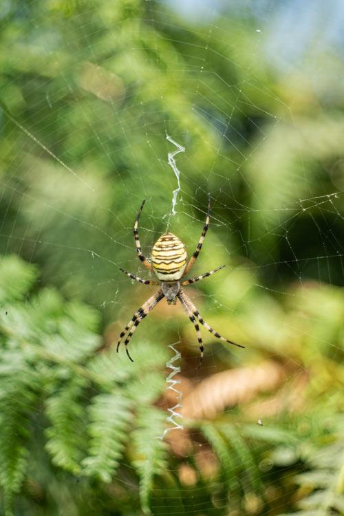 wespenspin-spin-tijgerspin-natuurfotografie