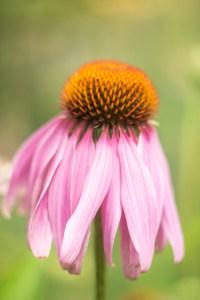 zonnehoed-roze-bloem-echinacea
