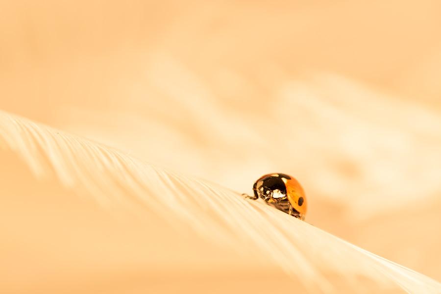 lieveheersbeestje-kever-insect