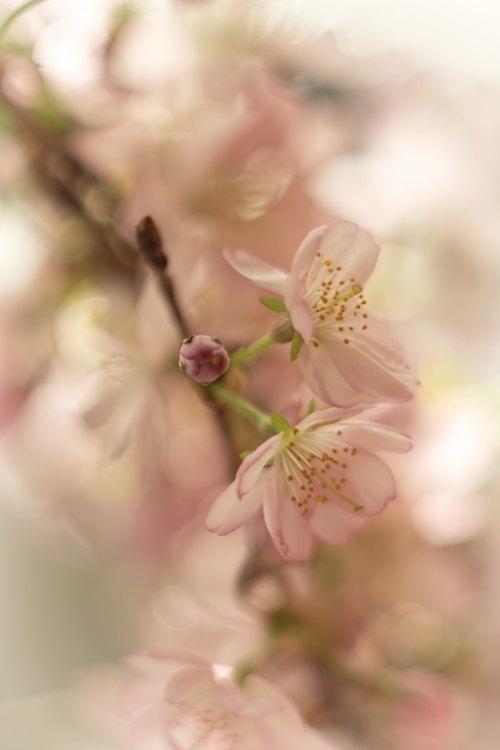 bloesem-lensbaby-bloeien
