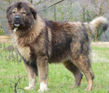 cane-caucaso-aggressione-torre-del-greco-mariella-romano-cronaca