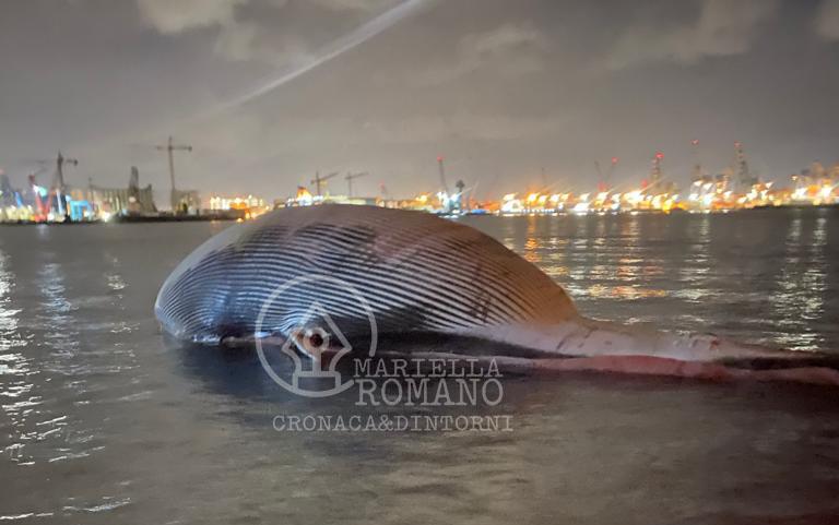L'ultimo viaggio della balenottera spiaggiata a Sorrento: è ancorata nel porto di Napoli