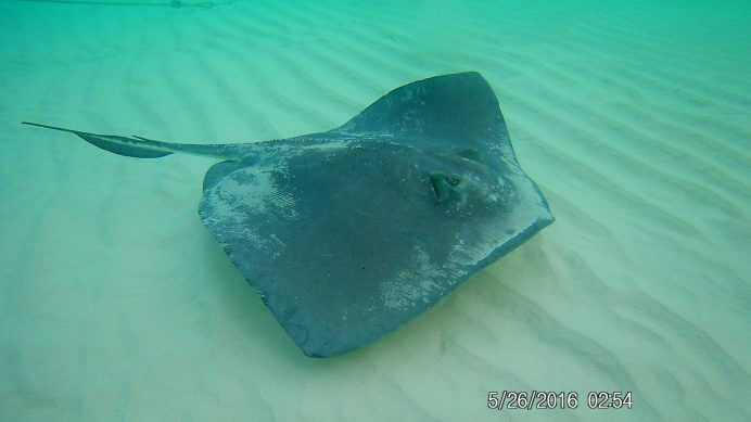 Swimming with stingrays in Stingray City