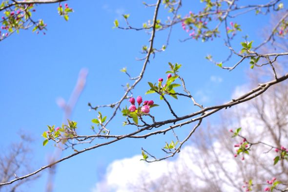 01 crab apple branch