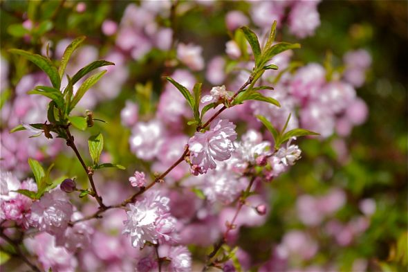 10 flowering almond