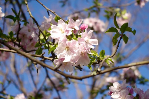 25 crab apple blossoms
