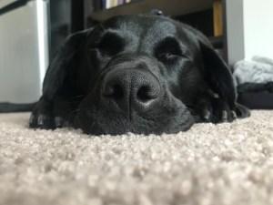 Black lab on a white rug